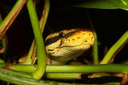 gefährliche Klapperschlange